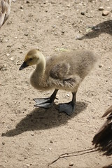 DSC00530 (The Unofficial Photographer (CFB)) Tags: deardiaryjune2018 goslings geese featheredfriends ewell