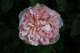 Rosa 'The Lady Gardener' - Kew Gardens