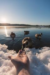 Aaauts (petrisalonen) Tags: spring finland nature goose water eating snow sunrise landscape blue holiday sunset light sun bird birdphotography