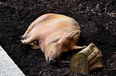 Belfast Zoo (jaffa600) Tags: belfast northenireland uk zoo zoopark animals animalpark animal belfastzoo pig pigs tamworthpig