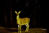 White-Tailed Deer (FischyBizness Photography) Tags: nature animals wildlife wild deer whitetailed
