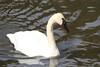 Trumpeter Swan (Daniel Taieb) Tags: mckenziemarsh trumpeter swan