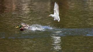 Seagull vs mallard (4/13)