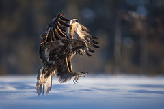 Golden Eagle (Daniel Trim) Tags: aquila chrysaetos golden eagle raptor bird birds birding nature animals sweden scandinavia european photo conny lundstrom lundström kalvträsk skellefteå skellftea winter snow snowy snowing