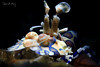 H A R L E Y (Randi Ang) Tags: harlequin shrimp harlequinshrimp hymenocerapicta hymenocera picta tulamben bali indonesia underwater scuba diving dive photography macro randi ang canon eos 6d 100mm randiang