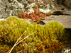 Campylopus introflexus (Jörg Paul Kaspari) Tags: diecalmonttour wanderung vorfrühling calmont moos moss campylopus introflexus campylopusintroflexus glashaar kaktusmoos