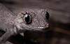 Kristin's Spiny-tailed Gecko (Strophurus krisalys) (elliotbudd) Tags: krisalys strophurus krysalys kristins spiny tailed sinytailed gecko winton boulia middleton elliot budd qld queensland gekkonidae geckonidae