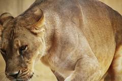 Lioness (daydreameilyah) Tags: bransonmissouri bransonmissourizoo zooanimal zoo promiselandzoo animalphotography canonphotography female femalelion lion lioness bigcat animal wildanimal wildcat wild