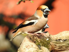 Hawfinch (Coccothraustes coccothraustes) (eerokiuru) Tags: hawfinch coccothraustescoccothraustes kernbeisser suurnokkvint bird backyardbirds p900 nikoncoolpixp900