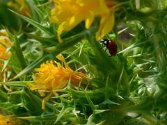 DSC_2196 2 (Luniul) Tags: insect macro nature ladybug flowers yellow