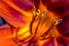 Sky on Fire,...... (Willem Vernooy (FoToWillem)) Tags: macro bokeh nature natuur tuin garden flower bloem meeldraden nikon105 105mm summer zomer colorful color fire vuur ftw willemvernooy fotowillem lillie