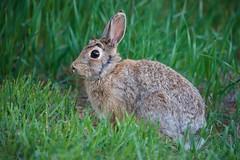 Frozen Rabbit (The Good Brat) Tags: co us hare lepusamericanus frozen fright motionless