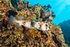 Porcupine1Mar27-18 (divindk) Tags: diodonhystrix hawaii hawaiianislands honoluabay maui scientificname underwater diverdoug marine ocean porcupinefish reef sea underwaterphotography
