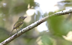 Olivaceous Flatbill (Rhynchocyclus olivaceus)