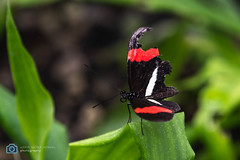 Butterfly (sattarmughal) Tags: rotterdamzoo rotterdam birdsphotography netherlands blijdorpzoo