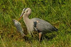 Spearfishing (ChicagoBob46) Tags: greatblueheron blueheron heron bird flower sanibel sanibelisland nature wildlife coth5 ngc npc