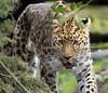 amurleopard Blijdorp BB2A8531 (j.a.kok) Tags: amoerpanter amurleopard amurpanther amoerluipaard pantherapardusorientalis asia azie animal blijdorp kat cat mammal zoogdier dier predator panter panther luipaard leopard