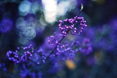 Bokehlicious (karstenphoto) Tags: purple botanischergarten botanicalgardens deutschland berlin germany leitz leica summicrondr dualrangesummicron dualrange summicron 35mm filmisalive ishootfilm ektar kodak analog film bokehlicious bokeh