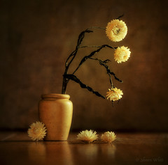 Resilience (shawn~white) Tags: 100mm canon6d helichrysumbracteatum strawflower aged beauty brown charm copper distressed dreamy elegance enchanting floral flower gold melancholy nostalgia pot reminisce reminiscing retro serenity stilllife table tabletop terracotta texture vase vintage