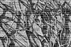 unrelated shadows (Francis Mansell) Tags: wall brick shadow pattern bush plant kewgardens royalbotanicgardenskew kew monochrome blackwhite niksilverefexpro2 branch stem shrub