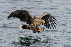 Mull White Tailed Sea Eagles (Adam Sibbald) Tags: mull white tailed sea eagles wtse nikon d500 200500 nature bop bird prey hunter loch