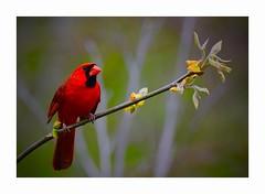 The Unfolding of Spring (George McHenry Photography) Tags: cardinal birds spring southcarolinabirds southcarolina