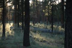 Camp Sherman (Tony Pulokas) Tags: campsherman oregon metoliusriver forest tree pine ponderosapine blur tilt bokeh spring oldgrowth purshia antelopebitterbrush bitterbrush antelopebrush buckbrush flower sunset