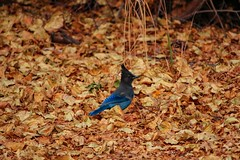 Steller's Jay (cyanocitta stelleri) in Fall Leaves (RStonejr) Tags: ihateflickrfriday jay bird nature fall blue yellow stellersjay pinejay crestedjay leaves fallcolors longcrestedjay ross stone rossstone cyanocittastelleri wildanimal animal animalplanet mountainjay light new