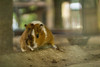 st_robert 003 (trindade.carol) Tags: pig porco porquinho índia animal nature natureza