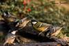 non mi hanno visto (federicomazzetto) Tags: capanno bird birds bergamo bosco bagno baita bello cincia cinciarella cinciamora wildlife wild water