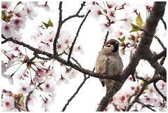 Eurasian Tree Sparrow X Cherry Blossoms (zhafransyah) Tags: bird eurasian tree sparrow sakura cherry blossom japan hiroshima animals asia nikon spring white background