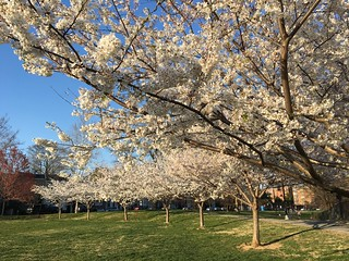 Row of trees in bloom at Rose Park, Georgetown, Washington, D.C.