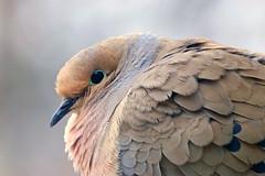 mourning dove (bnbalance) Tags: dove nature new spring beautifulfeathers pattern macro