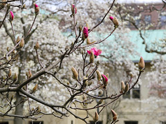 Blossoming trees in April (witajny) Tags: naturepictures nature naturephotography park garden brooklynbotanicgarden newyork trees magnoliatrees building blossom tree