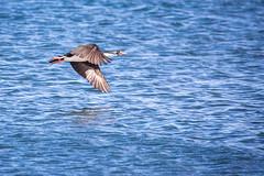Cormorant Cruise (jeff_a_goldberg) Tags: imperialcormorant patagonia cormorant wildlife birdinflight nature leucocarboatriceps bif bird puntaarenas naturalhabitatadventures imperialshag chile nathab regióndemagallanesydelaan regióndemagallanesydelaantárticachilena cl