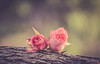 pink (Ayeshadows) Tags: roses two paired pink garden diaries wooden tree