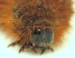 bug of the day (urtica) Tags: northboroughma northborough ma massachusetts usa bugoftheday insect moth tigermoth caterpillar lepidoptera arctiinae erebidae apantesis