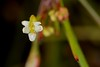 Centella virgata (galanhsnu) Tags: centellavirgata centella apiaceae southafrica kogelberg umbelliferae