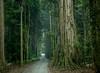 Gondwana Rain Forest (loveexploring) Tags: australia gondwanarainforestsofaustralia greenmountains lamingtonnationalpark queensland ancientforest fog forest landscape rainforest road worldheritage