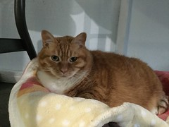 Ginger - 10 year old spayed female