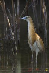 _04B7277 (Pedro Gutiérrez) Tags: garcillacangrejera garzas aves humedales elhondo parajesprotegidos reservasdeaves