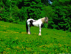 Scotland West Highlands Argyll an old farm work horse island of Cumbrae 28 May 2018 by Anne MacKay (Anne MacKay images of interest & wonder) Tags: scotland west highlands argyll field countryside old farm work horse island cumbrae xs1 28 may 2018 picture by anne mackay