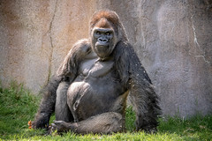 Big Daddy (helenehoffman) Tags: africa winston gorilla primate sandiegozoosafaripark silverback conservationstatuscriticallyendangered animal mammal ape gorillagorillagorilla westernlowland specanimal coth alittlebeauty coth5 fantasticnature specanimalphotooftheday