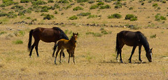 Mustang Colt (John Kocijanski) Tags: horses animals colt mustang wildlife nature canon18135mmstmlens nevada