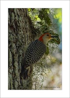 Red Bellied Woodpecker (Melanerpes carolinus)
