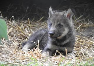 European Grey Wolf Cub