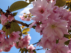 Fill the sky with pink (Ruth and Dave) Tags: mountpleasant vancouver pink cherryblossom cherrytree tree branch closeup sakura spring