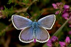 Male Silver-studded Blue Butterfly (Plebejus argus) (DerekL1) Tags: preesheath silverstuddedblue butterfly plebejusargus shropshire uk male sigma15028macro