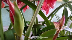 Amaryllis #30 Close up of buds on living room table 13th June 2018 (D@viD_2.011) Tags: amaryllis 30 close up buds living room table 13th june 2018