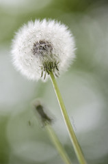 Parts of the Whole (amy20079) Tags: blowballs dandelion dandelionseeds seeds maine macro newengland spring plant bokeh weed clocks
